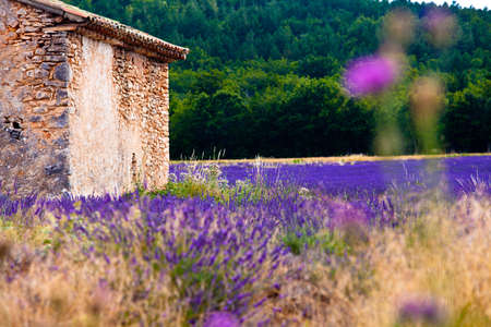 herbs of provence: Blooming field of Lavender (Lavandula angustifolia) near of St-Christol and Sault, Vaucluse, Provence-Alpes-Cote dAzur, Southern France, France, Europe, PublicGround
