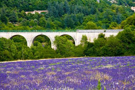 faboideae: Fioritura campo di lavanda (Lavandula angustifolia) intorno Sault, Vaucluse, Provenza-Alpi-Costa Azzurra, Francia meridionale, Francia, Europa, PublicGround