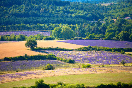 Blooming field of Lavender (Lavandula angustifolia) around Sault and Aurel, in the Chemin des Lavandes, Provence-Alpes-Cote dAzur, Southern France, France, Europe, PublicGround photo