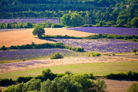 Blooming field of Lavender (Lavandula angustifolia) around Sault and Aurel, in the Chemin des Lavandes, Provence-Alpes-Cote d'Azur, Southern France, France, Europe, PublicGround Stock Photo - 16936296