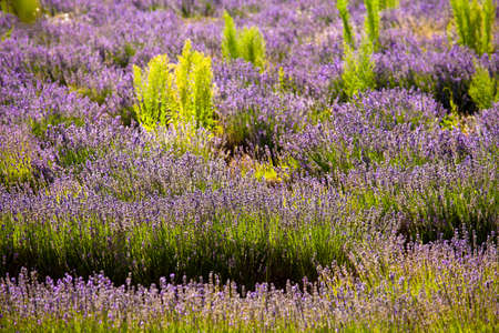 Blooming field of Lavender (Lavandula angustifolia) around Sault and Aurel, in the Chemin des Lavandes, Provence-Alpes-Cote d'Azur, Southern France, France, Europe, PublicGround Stock Photo - 16936281