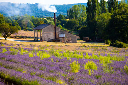 faboideae: Blooming field of Lavender (Lavandula angustifolia) around Sault and Aurel, in the Chemin des Lavandes, Provence-Alpes-Cote dAzur, Southern France, France, Europe, PublicGround Stock Photo