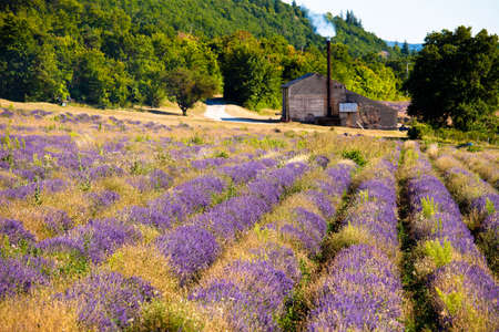 Blooming field of Lavender (Lavandula angustifolia) around Sault and Aurel, in the Chemin des Lavandes, Provence-Alpes-Cote d'Azur, Southern France, France, Europe, PublicGround Stock Photo - 16936293