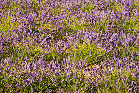 Blooming field of Lavender (Lavandula angustifolia) around Sault and Aurel, in the Chemin des Lavandes, Provence-Alpes-Cote d'Azur, Southern France, France, Europe, PublicGround Stock Photo - 16936248
