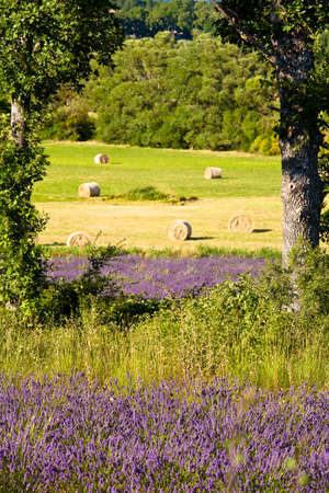 Blooming field of Lavender (Lavandula angustifolia) around Sault and Aurel, in the Chemin des Lavandes, Provence-Alpes-Cote d'Azur, Southern France, France, Europe, PublicGround Stock Photo - 16936294