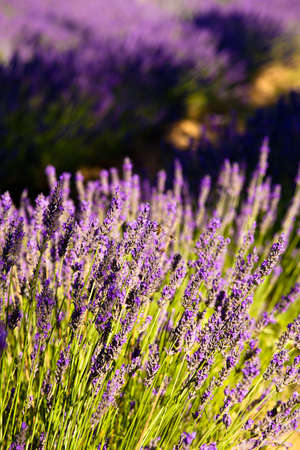 Blooming field of Lavender (Lavandula angustifolia) around Sault and Aurel, in the Chemin des Lavandes, Provence-Alpes-Cote d'Azur, Southern France, France, Europe, PublicGround Stock Photo - 16936345