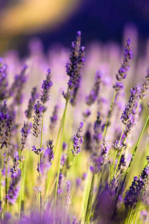 Blooming field of Lavender (Lavandula angustifolia) around Sault and Aurel, in the Chemin des Lavandes, Provence-Alpes-Cote d'Azur, Southern France, France, Europe, PublicGround Stock Photo - 16936372