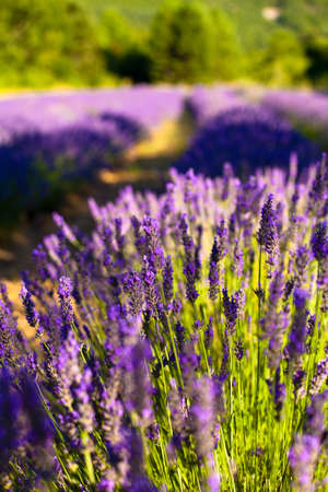 Blooming field of Lavender (Lavandula angustifolia) around Sault and Aurel, in the Chemin des Lavandes, Provence-Alpes-Cote d'Azur, Southern France, France, Europe, PublicGround Stock Photo - 16936335