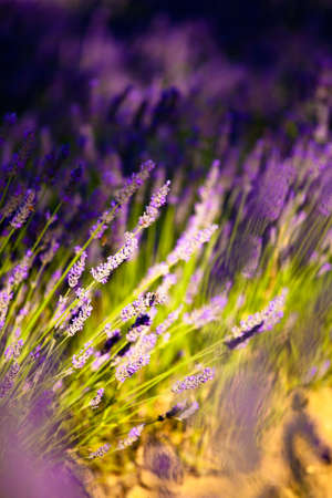 Blooming field of Lavender (Lavandula angustifolia) around Sault and Aurel, in the Chemin des Lavandes, Provence-Alpes-Cote d'Azur, Southern France, France, Europe, PublicGround Stock Photo - 16936337