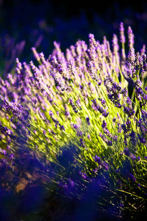 Blooming field of Lavender (Lavandula angustifolia) around Sault and Aurel, in the Chemin des Lavandes, Provence-Alpes-Cote d'Azur, Southern France, France, Europe, PublicGround Stock Photo - 16936371