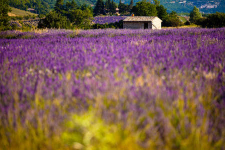 Blooming field of Lavender (Lavandula angustifolia) around Sault and Aurel, in the Chemin des Lavandes, Provence-Alpes-Cote d'Azur, Southern France, France, Europe, PublicGround Stock Photo - 16936313