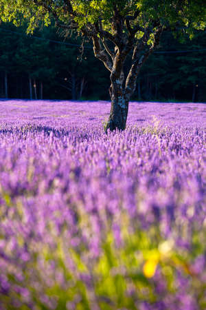 Blooming field of Lavender (Lavandula angustifolia) around Sault and Aurel, in the Chemin des Lavandes, Provence-Alpes-Cote d'Azur, Southern France, France, Europe, PublicGround Stock Photo - 16936343