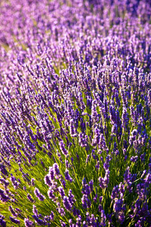 Blooming field of Lavender (Lavandula angustifolia) around Sault and Aurel, in the Chemin des Lavandes, Provence-Alpes-Cote d'Azur, Southern France, France, Europe, PublicGround Stock Photo - 16936323