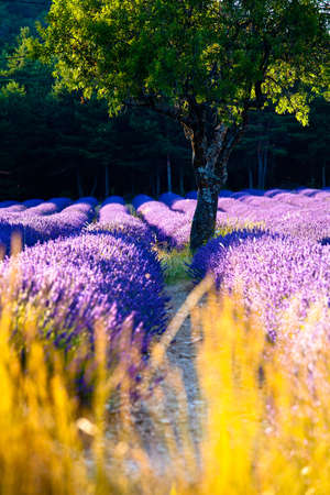 Blooming field of Lavender (Lavandula angustifolia) around Sault and Aurel, in the Chemin des Lavandes, Provence-Alpes-Cote d'Azur, Southern France, France, Europe, PublicGround Stock Photo - 16936344