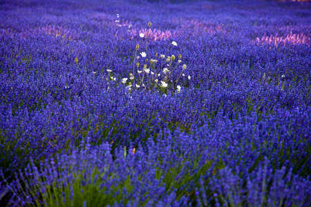 lavandula angustifolia: Blooming field of Lavender (Lavandula angustifolia) around Sault and Aurel, in the Chemin des Lavandes, Provence-Alpes-Cote dAzur, Southern France, France, Europe, PublicGround Stock Photo