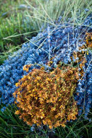 faboideae: Fioritura campo di lavanda (Lavandula angustifolia) intorno Sault e Aurel, in Chemin des Lavandes, Provenza-Alpi-Costa Azzurra, Francia del Sud, Francia, Europa, PublicGround Archivio Fotografico