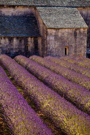 faboideae: Fioritura campo di lavanda (Lavandula angustifolia) di fronte a Abbazia di Senanque, Gordes, Vaucluse, Provenza-Alpi-Costa Azzurra, Francia meridionale, Francia, Europa Archivio Fotografico