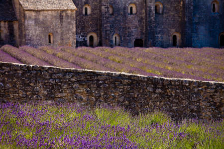 senanque: Blooming field of Lavender (Lavandula angustifolia) in front of Senanque Abbey, Gordes, Vaucluse, Provence-Alpes-Cote dAzur, Southern France, France, Europe
