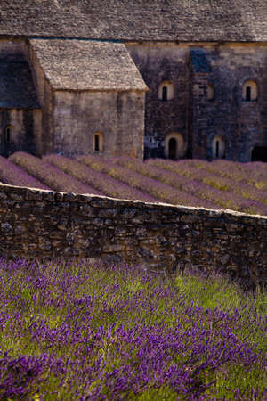 abbeys: Blooming field of Lavender (Lavandula angustifolia) in front of Senanque Abbey, Gordes, Vaucluse, Provence-Alpes-Cote dAzur, Southern France, France, Europe