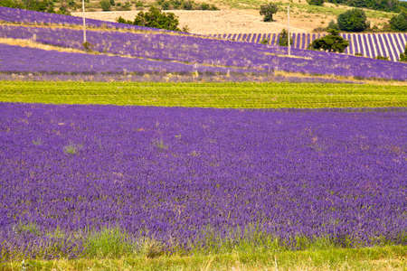 faboideae: Blooming field of Lavender (Lavandula angustifolia), Vaucluse, Provence-Alpes-Cote dAzur, Southern France, France, Europe, PublicGround