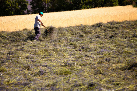 faboideae: Fioritura campo di lavanda (Lavandula angustifolia), Vaucluse, Provenza-Alpi-Costa Azzurra, Francia meridionale, Francia, Europa, PublicGround Editoriali