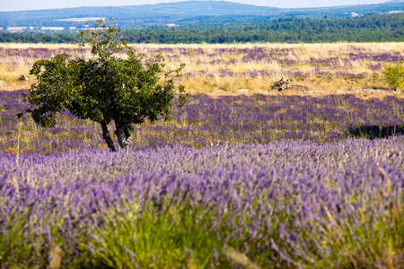 Blooming field of Lavender (Lavandula angustifolia), Vaucluse, Provence-Alpes-Cote dAzur, Southern France, France, Europe, PublicGround photo