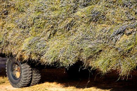 faboideae: Blooming campo di lavanda (Lavandula angustifolia) intorno a Sault e Aurel, in Chemin des Lavandes, Provenza-Alpi-Costa Azzurra, Francia meridionale, Francia, Europa, PublicGround