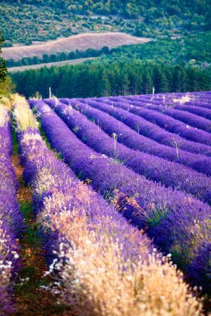 faboideae: Blooming field of Lavender (Lavandula angustifolia) near of St-Christol, Vaucluse, Provence-Alpes-Cote dAzur, Southern France, France, Europe, PublicGround