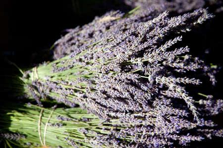faboideae: Lavender in Sault, France