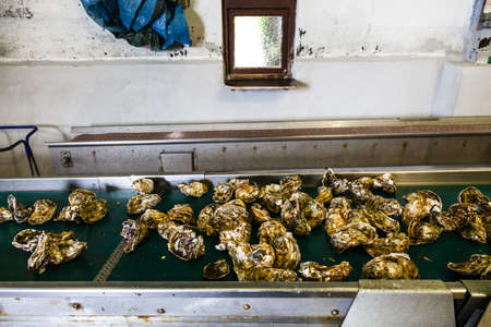 hedonism: Production of oysters in Etang de Diane, the east coast of Corsica, France, Europe Stock Photo