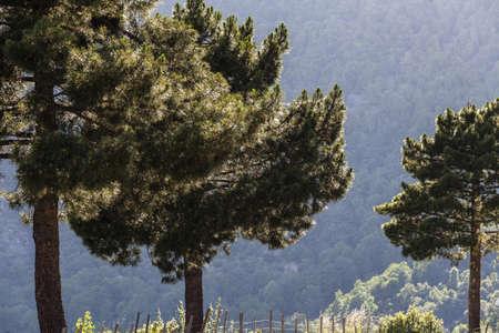 mediterranean forest: forest in Corsica