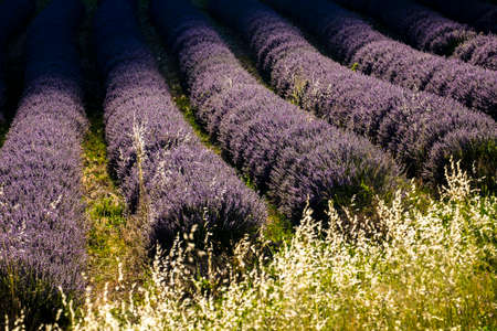 lavender field nr Sault, the Vaucluse, Provence, France Europe