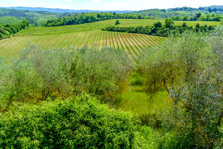 Vineyards around Monteriggioni small medieval hill town in Tuscany, Italy