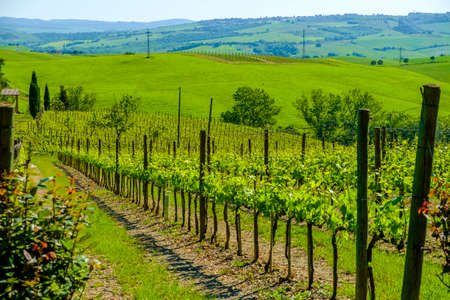 Vineyards in the countryside of Tuscany Italy Europe