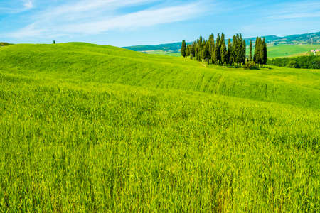 Cypresses in a landscape in Tuscany Italy Europe
