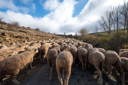 Transhumant route with sheep in the province of Soria in Spain Stock Photo
