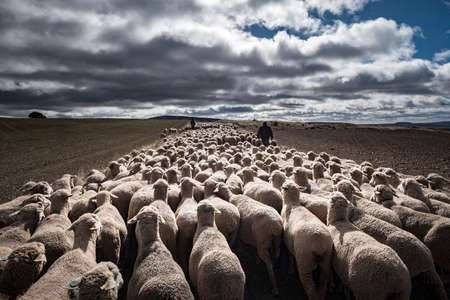 Transhumant route with sheep in the province of Soria in Spain 스톡 콘텐츠