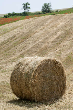 hayroll: Hay bale on the field after harvest Stock Photo