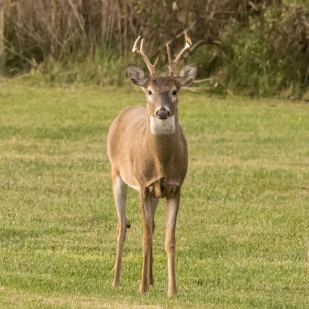 Young male white-tailed deer standing at alert attention in front of a marsh. Stock Photo