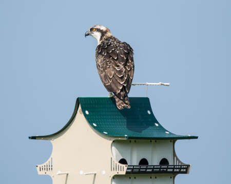 Juvenile osprey, learning to fly, lands on a Purple Martin house.