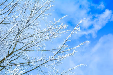 Winter branches of trees in frost snow flakes on blue winter sky Stock Photo