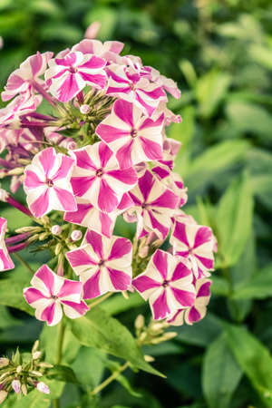 Beautiful flowers of phlox. Nature scene with blooming garden flowers. Summer floral background of Beautiful gardening Banco de Imagens