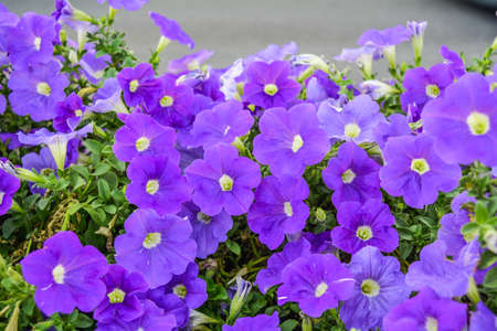 Beautiful flowers of purple petunia. Nature scene with blooming garden flowers. Vintage summer floral background of Beautiful gardening