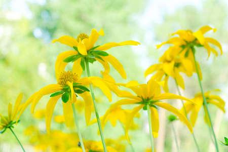 Yellow topinambur flowers field. Summer Daisies. Beautiful nature scene with blooming medical flowerss. Alternative medicine herb. Topinambur Spring flower background Beautiful meadow