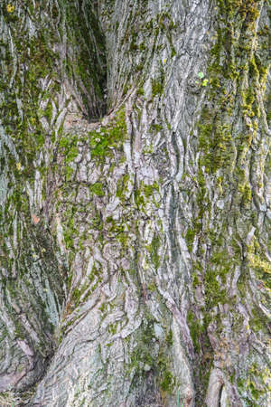 Texture of old tree bark with green moss Stok Fotoğraf