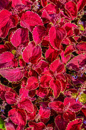 Ground-cover floral carpet of red leaves of the garden koleus. Nature scene with decorative leaf garden plants. Vintage summer floral background of Beautiful gardening
