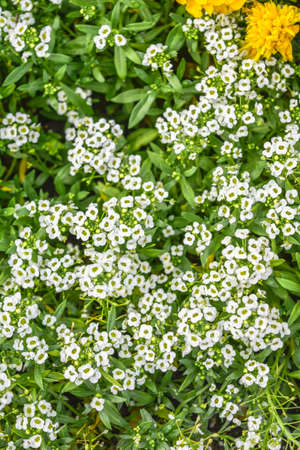 Beautiful little white flowers. Nature scene with blooming garden flowers. Vintage summer floral background of Beautiful gardening. Carpet of bloomig little flowers Banco de Imagens