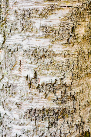 Texture of old birch tree bark with green moss. White birch bark on a tree trunk
