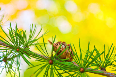 Sprig of European Larch or Larix decidua with pine cones on blurred background. Branch of Larch