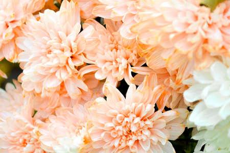 Bouquet von Lachsfarbe und weißer Chrysantheme oder Golden-Gänseblümchen-Nahaufnahme Standard-Bild